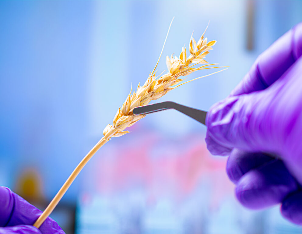 Professional scientist with gloves examining wheat ears, experim